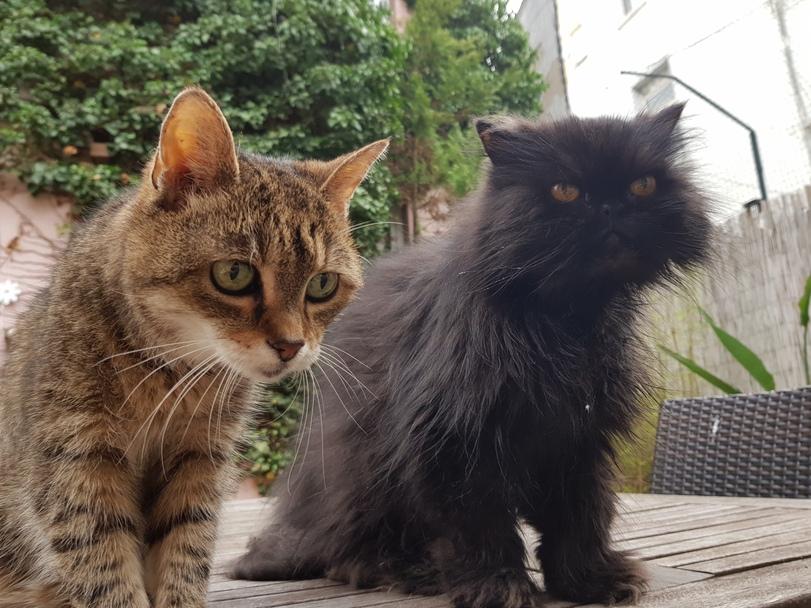 Tigerkatze und Perserkatze