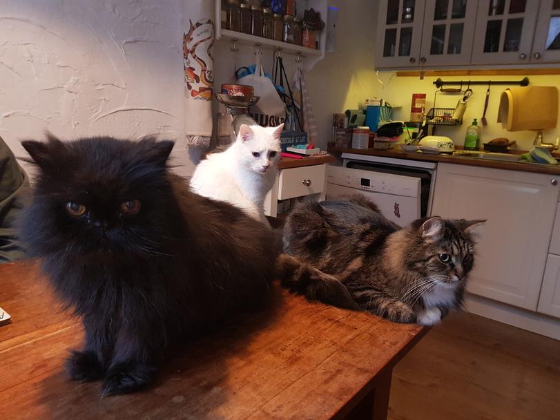 Drei Katzen auf dem Tisch