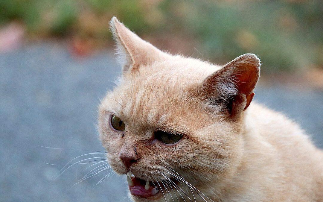 Umgeleitete Aggression: aggressive Katze faucht