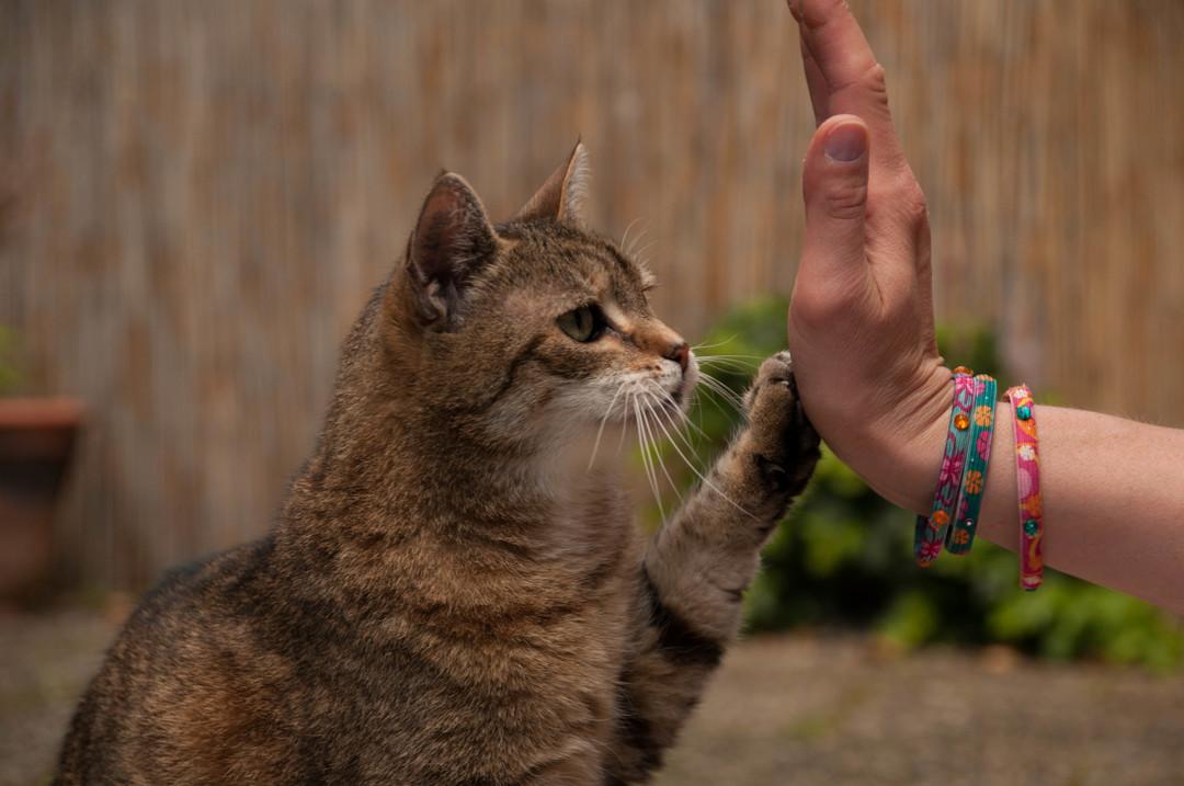 Tigerkatze gibt High-Five