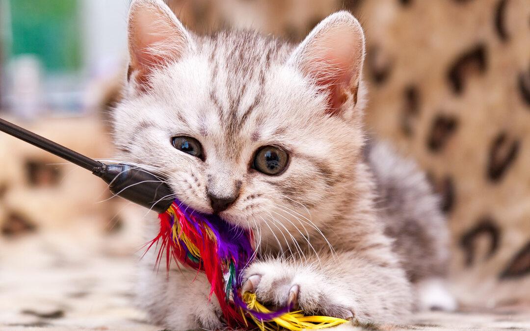 mit Katzen spielen: Kätzchen spielt mit Federangel