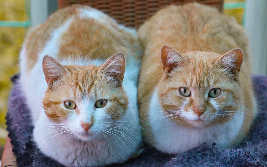 Katzenpartner - wer passt zu wem? Zwei rot-weiße Katzen sitzen nebeneinander