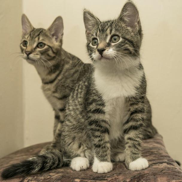 Eine zweite Katze zieht ein: Zwei Kätzchen sitzen hintereinander und schauen zum Fotografen
